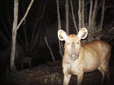 Sambar deer hind