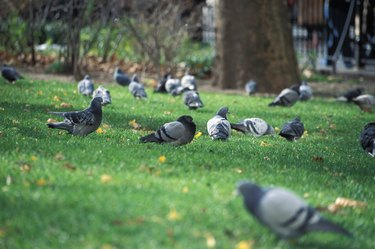 Flock of pigeon in a park