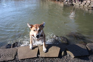A dog climbing out of the water at Marymoor Park